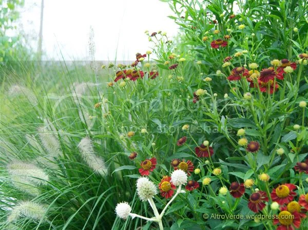 helenium 'Ruby Tuesday' with pennisetum 'Woodside' (a rather short and furry selection) and eryngium yuccifolium (the only one that thrives in my garden)
