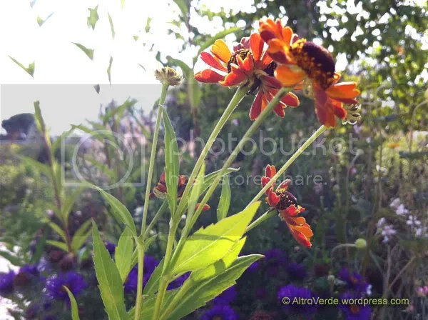 Helenium 'Loysder Wieck' is pretty tall (100-130cm) with gorgeous flowers: petals are sweet orange on top and copper red on the back. They're kind of curled too so you can see the colors mixed together.