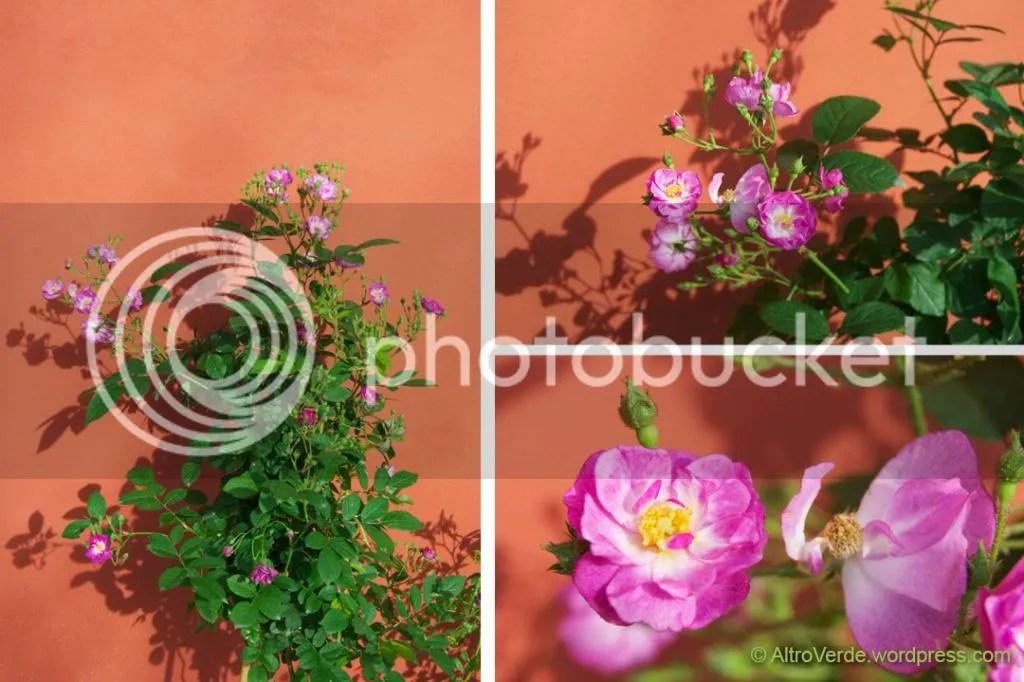 Hybrid musk rose