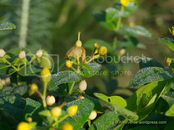 A close-up of the hypericum, with flowers and seeds at the same time, this is a great selection.