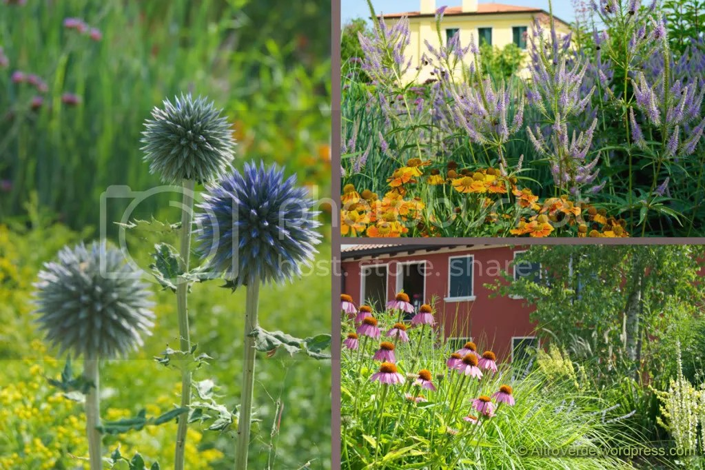 Echinops 'Taplow Blue' with solidago, veronicastrum 'Fascination' with helenium 'Waldtraut', a view of the house from the grass garden