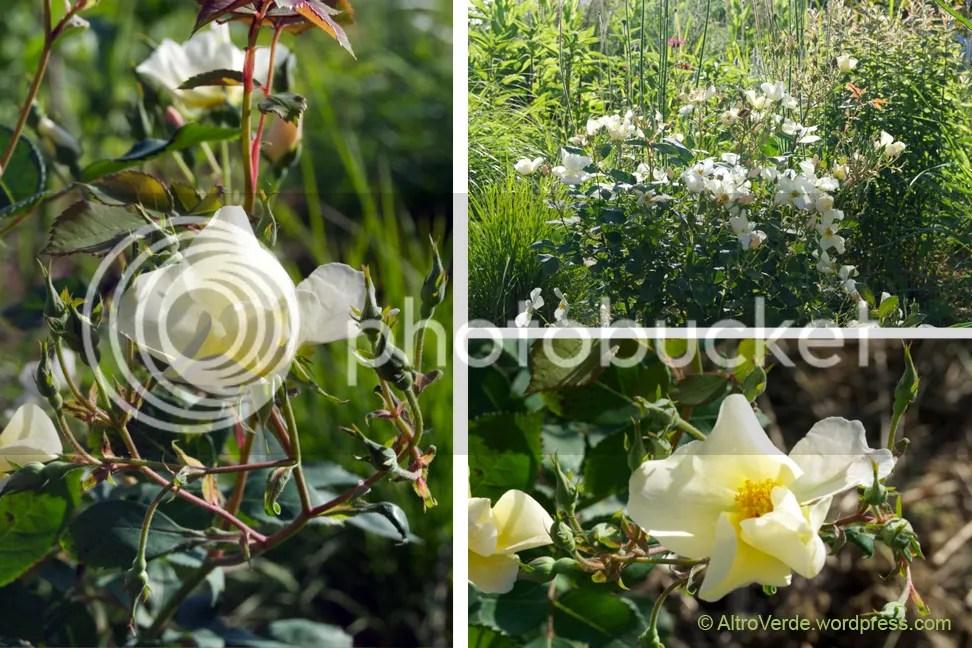 David Austin's rose Kew Gardens