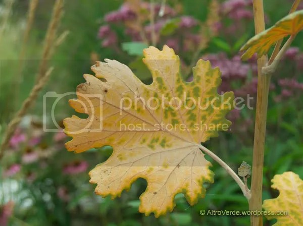 deading leaf of macleaya 'Coral Plume' (but some fresh new are coming!)