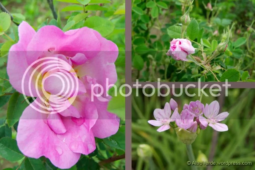 rosa Marguerite Hilling - rosa Omar Khayyám - allium unifolium