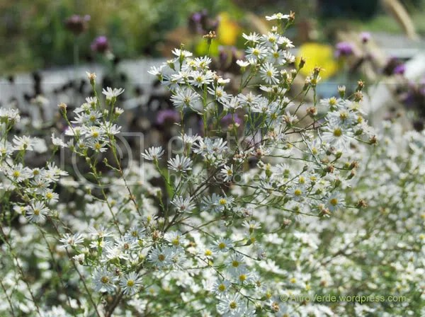 A close-up of aster 'Monte Cassino' is rather bushy and a real flood of white little starry flowers, I love it.