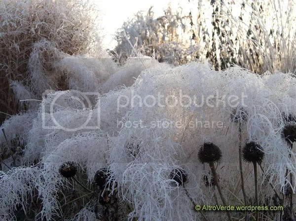 Muhlenbergia capilaris is like a frozen seafom, overwhelming the echinacea