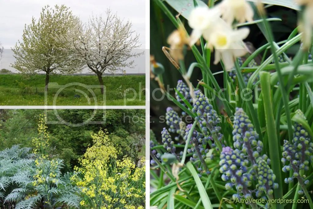 Clockwise from top left: the cherry trees, muscari 'Green Eyes' with narcissus 'Sailboat', artichokes with cabbage 'Nero di Toscana' flowers and rosa banksiae 'Purezza' getting ready to burst into flower.
