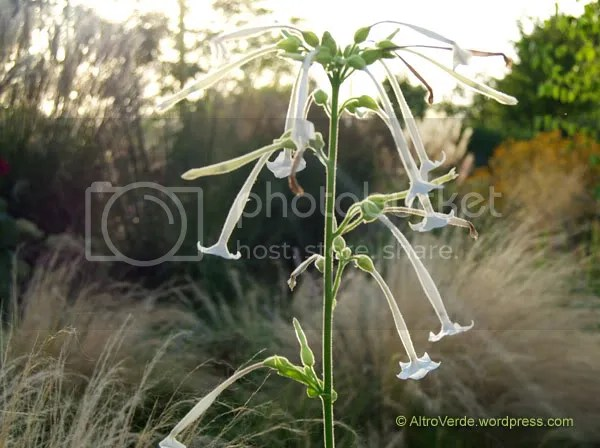 Nicotiana sylvestris (aka tobacco). You might think the dark part of this pic is in the background, well that beautiful scented diaphanous flower is responsible for more deaths than car crash!