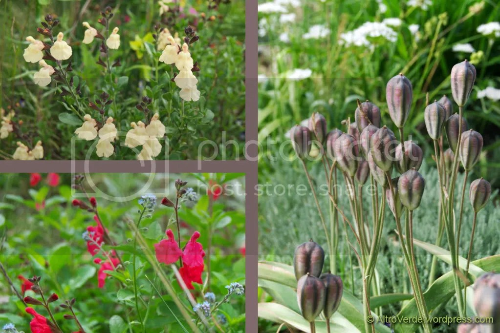 pale yellow salvia navajo - tulipa turkestanica seed pods - unknown red salvia with infiltrated forget-me-nots