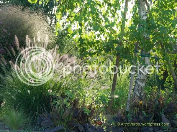 Pennisetum alopecuroides seedling under the birch