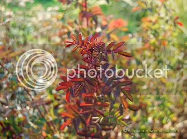 Rosa 'Single Cherry' beatiful autumn colours