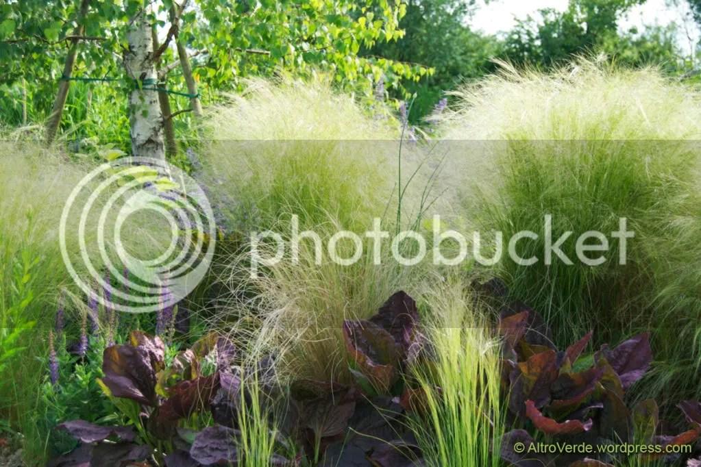 Stipa tenuissima and plantago major atropurpurea