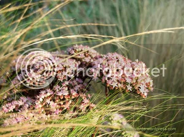 Sedum 'Matrona' amongst stipa tenuissima