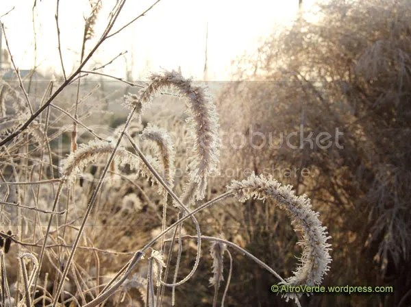 Pennisetum Orientalis 'Tall Tails' shining in the cold morning air
