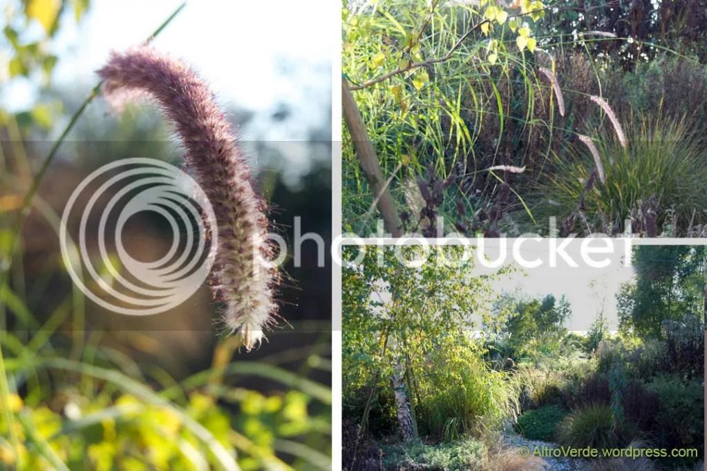 Pennisetum orientalis 'Tall Tails'
