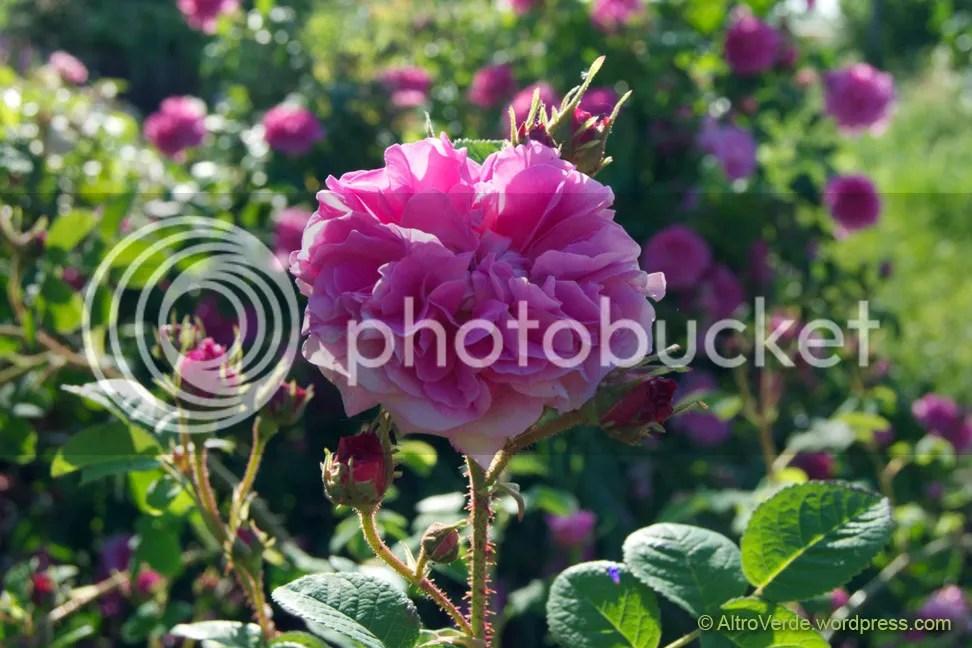rosa Trigintipetala (Kazanlik)