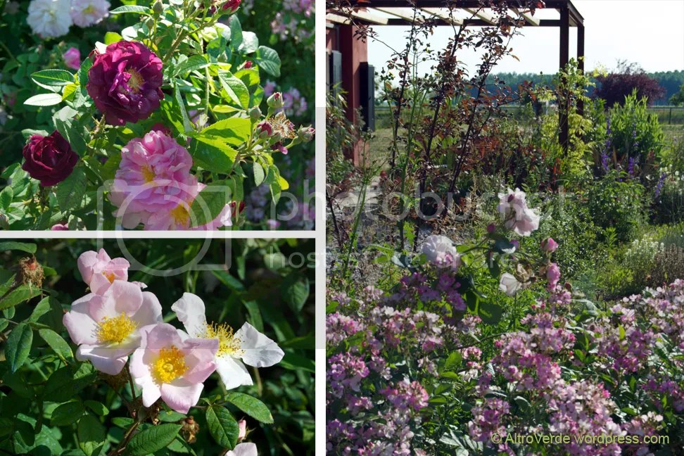 Clockwise from top left: rosa Tuscany and Celsiana, a view to the pergola including rosa Celsiana underplanted with rosa Angel Wings, a close up of rosa Sancta
