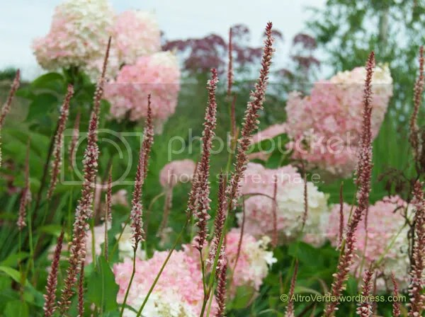 A pink persicaria with hydrangea paniculata 'Vanilla et Fraise'