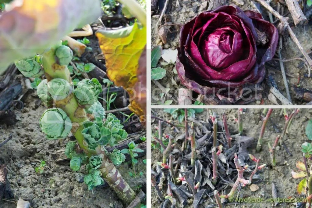 Brussel sprouts, red chicory 'Verona' and rose cuttings