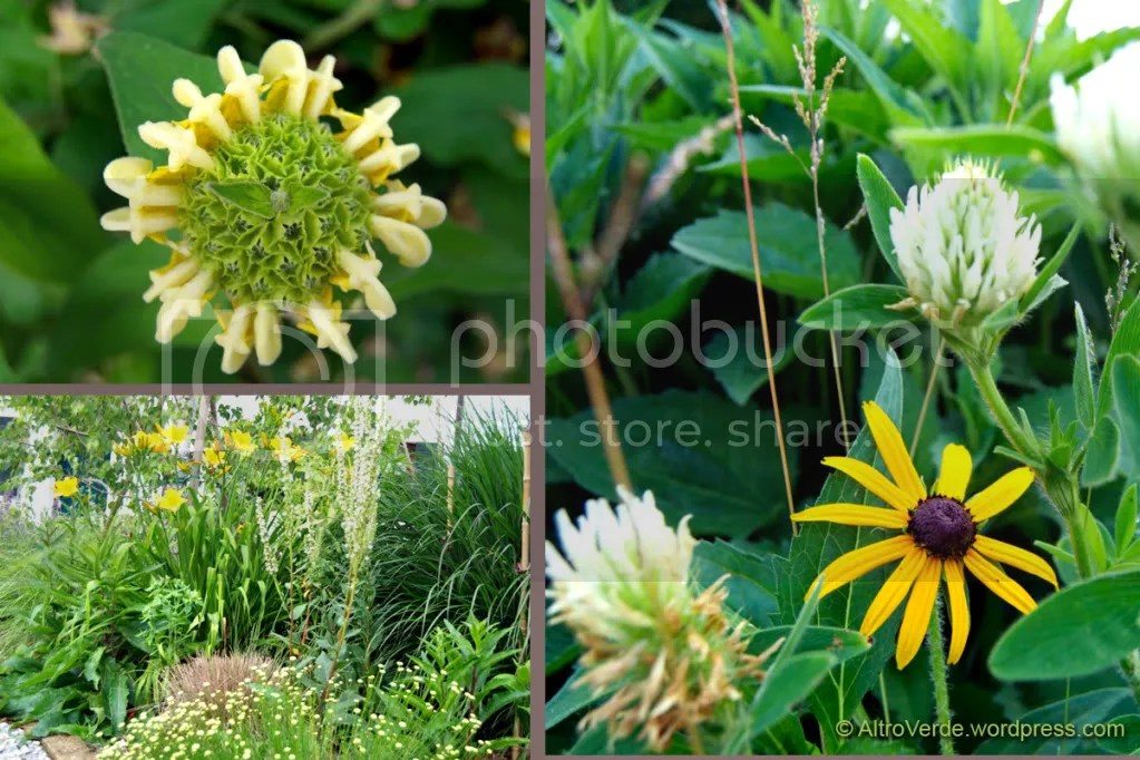 Clockwise from top left: phlomis tuberosa, rudbekia 'Goldsturm' with white clover, a view of the grass garden with yellow hemerocallis, verbascum chaixii album, panicum virgatum 'Warrior' and santolina rosmarinifolia in the foreground