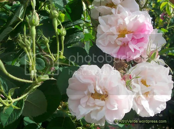 Rosa York and Lancaster, the famous Tudor rose, a delicate damask rose