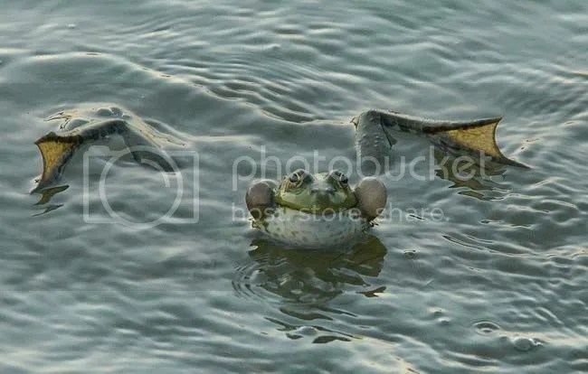 frog_in_water
