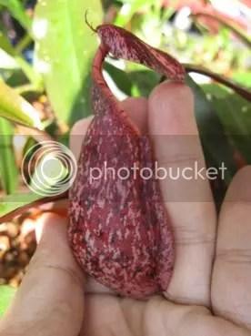 N. rafflesiana