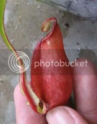 N. mirabilis variegated, n. (lowii x veitchii) x boschiana, n ...