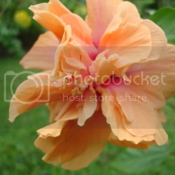 Orange Layered Hibiscus