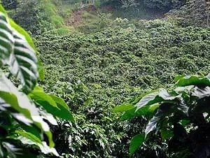 Coffee-Plantation.jpg jungle image by jamesway19