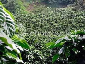 Coffee-Plantation.jpg jungle image by jamesway19