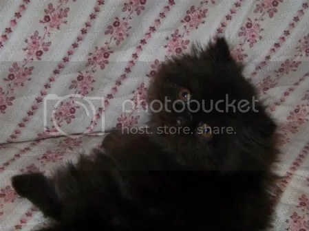 8 week old black male Persian kitten!