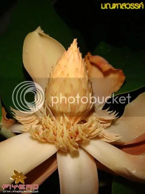 มณฑาสวรรค์, Magnolia delavayi
