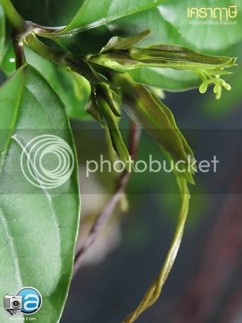 เคราฤๅษี, เคราฤษี, Strophanthus preussii