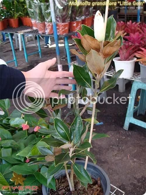 Magnolia grandiflora Little Gem, แมกโนเลีย แกรนดิฟลอร่า ลิตเติ้ลเจม, แมกโนเลีย ดอกใหญ่
