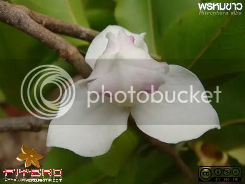 พรหมขาว, Mitrephora alba, ไม้วงศ์กระดังงา, ต้นไม้, ดอกไม้