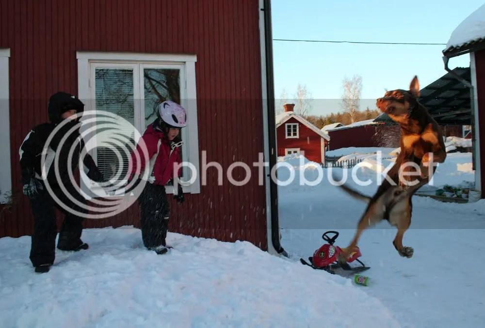 Att kasta snö till hundarna var nog den roligaste aktiviteten ute enligt både hundar och barn...