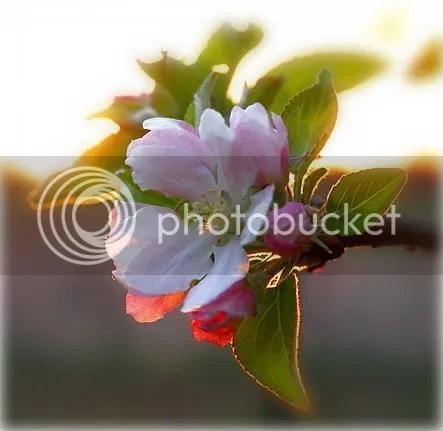 https://i2.wp.com/i27.photobucket.com/albums/c155/Dolphinika/var2/AppleBlossom1.jpg