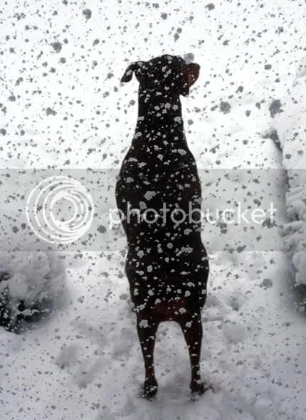 Snow Falling on Dog