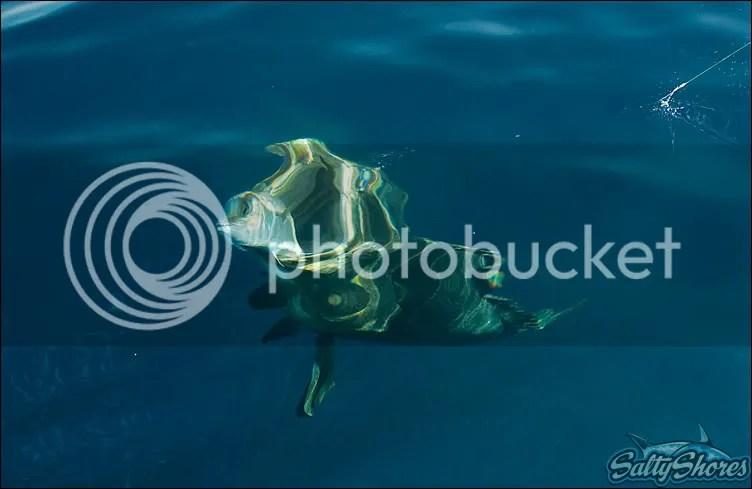 goliath grouper grabs amberjack