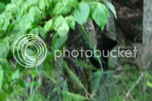 photo DSC_0844bearcubcropped_zpsc12d070c.jpg
