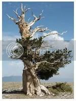bristlecone pines, renungan harian