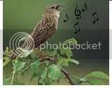 nyanyian burung