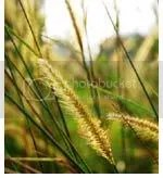 gandum dan ilalang