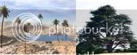 pohon korma dan pohon aras