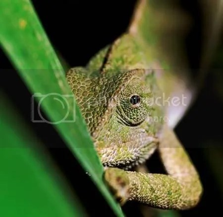 Chameleon_21.jpg guhhh picture by sherpasayshellothere