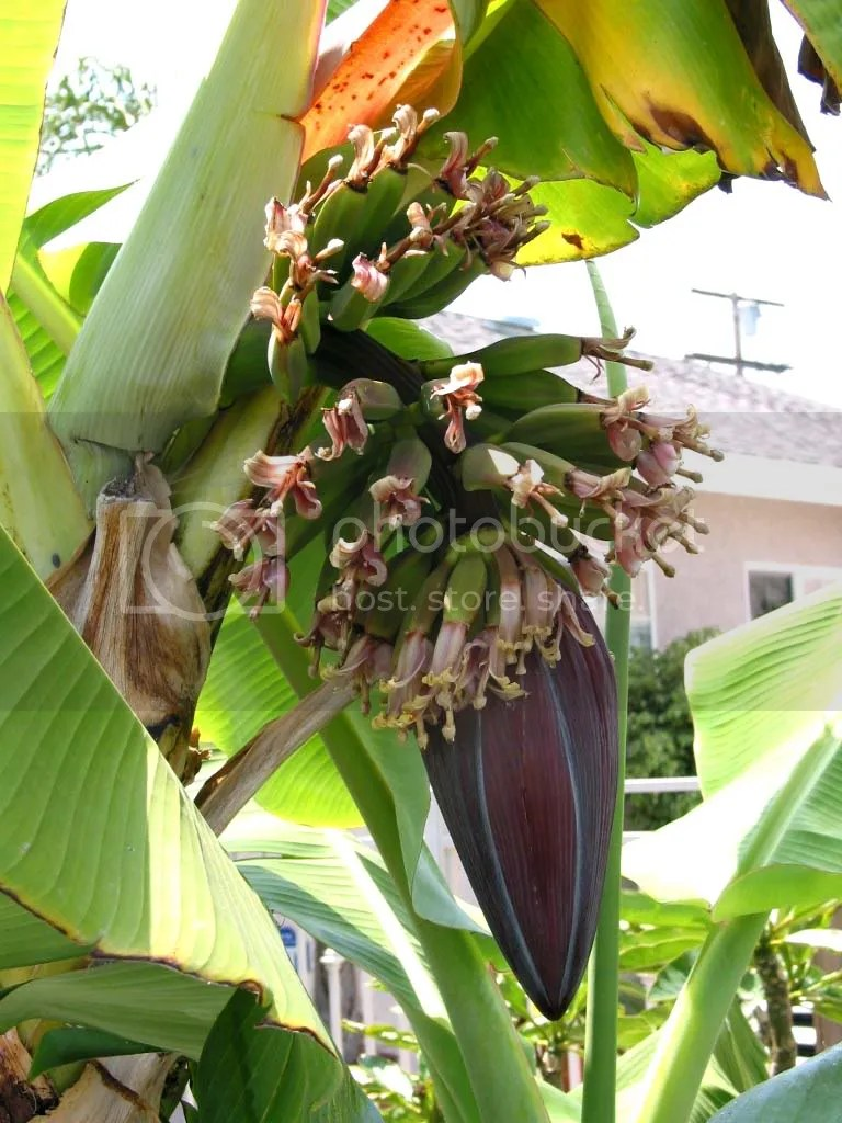 The banana tree in our front yard.