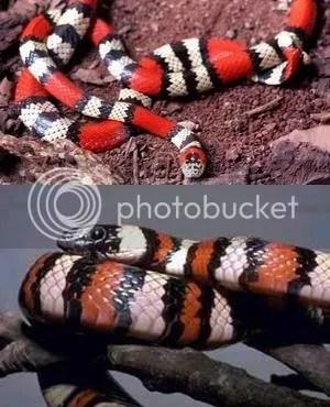 Imagens de uma Cobra Coral