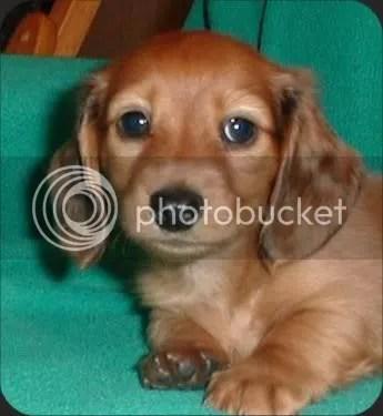 cute daschund puppy