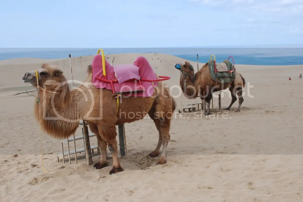 The camels arent native. Theyre imported from China.